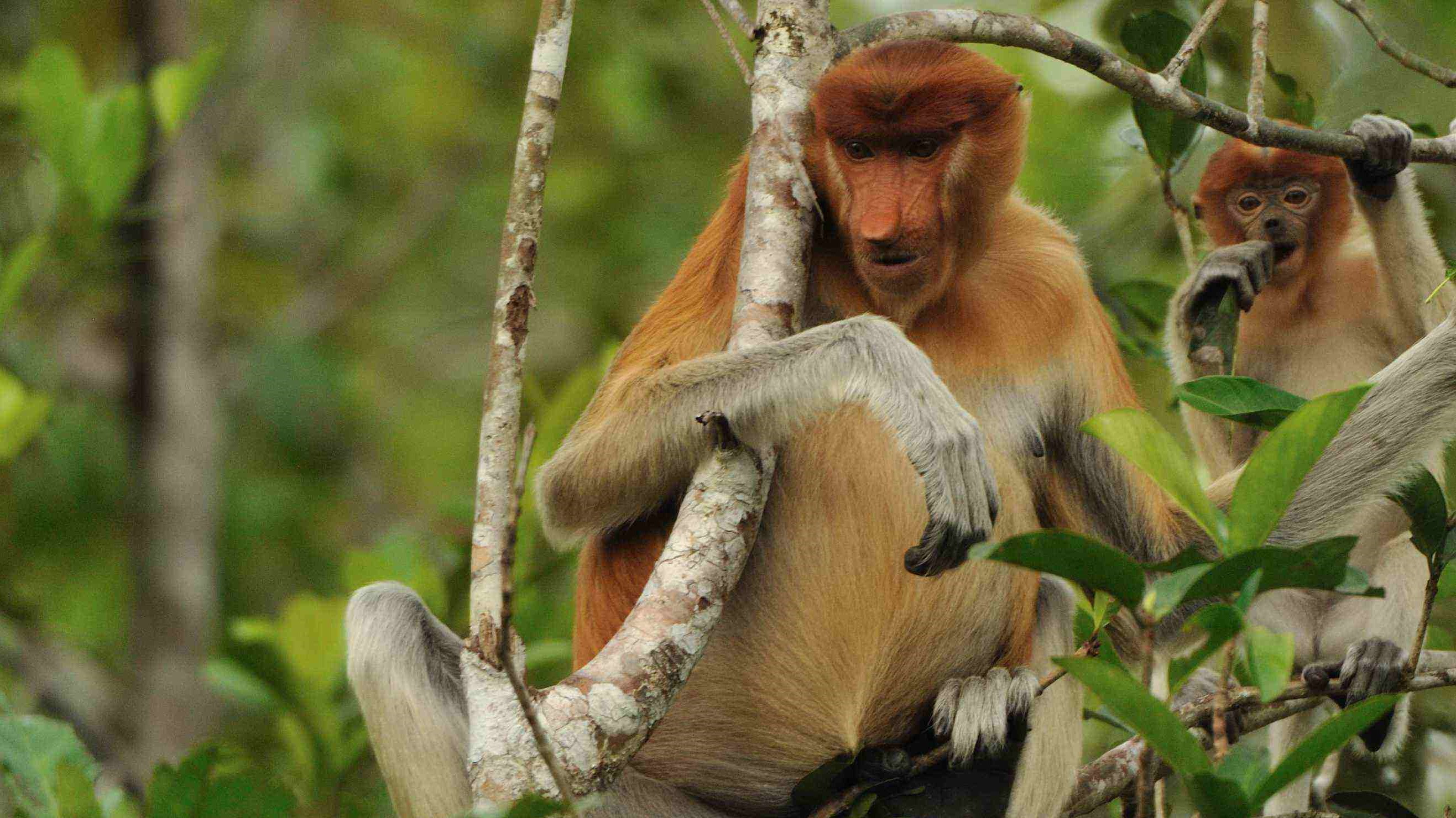 wildlife, floating market, borneo, kalimantan, indonesia, tour, trip, journey, safari, guide, banjarmasin, orangutan islands, orangutan, proboscis monkey, palangkaraya