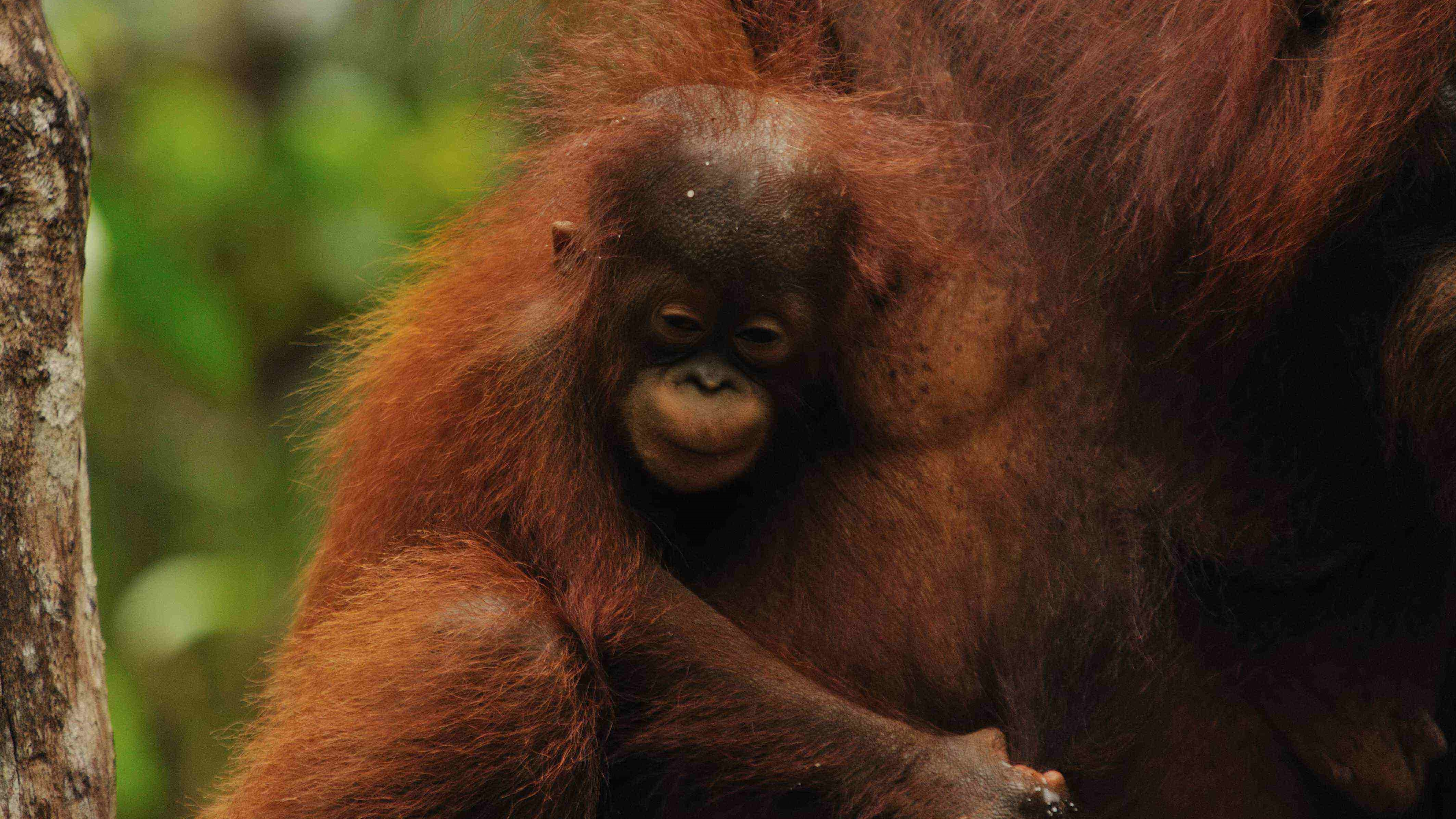 Tanjung Puting tour, wildlife orangutan safari trips, Borneo, Kalimantan Indonesia, Tanjung Puting Park, Jungle Adventure trek, Camp Leakey, orangutan, forest, jungle, klotok boat, guide, trip, sail, cruise, rent, hire, price
