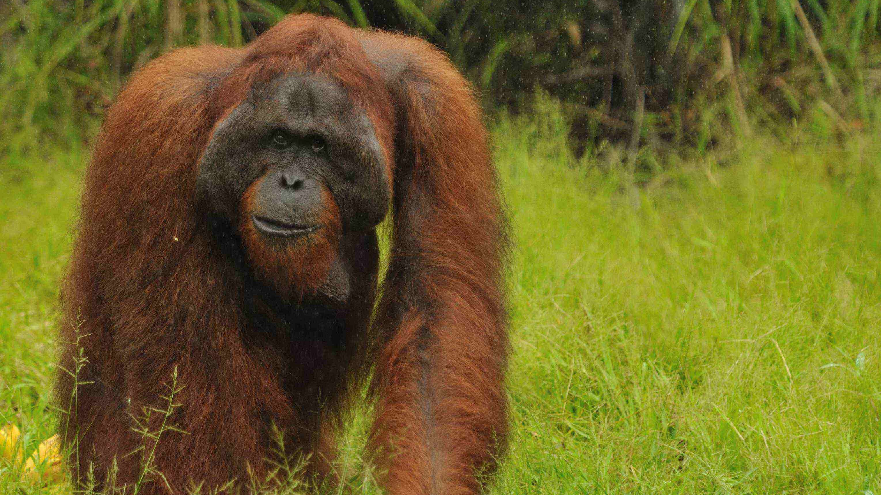tanjung puting park, camp leakey, pondok tanggui, trek, jungle, forest, hike, orangutan, wildlife, proboscis monkey, gibbon, wildlife, safari, tour, trip, hike, journey, kalimantan, borneo, indonesia