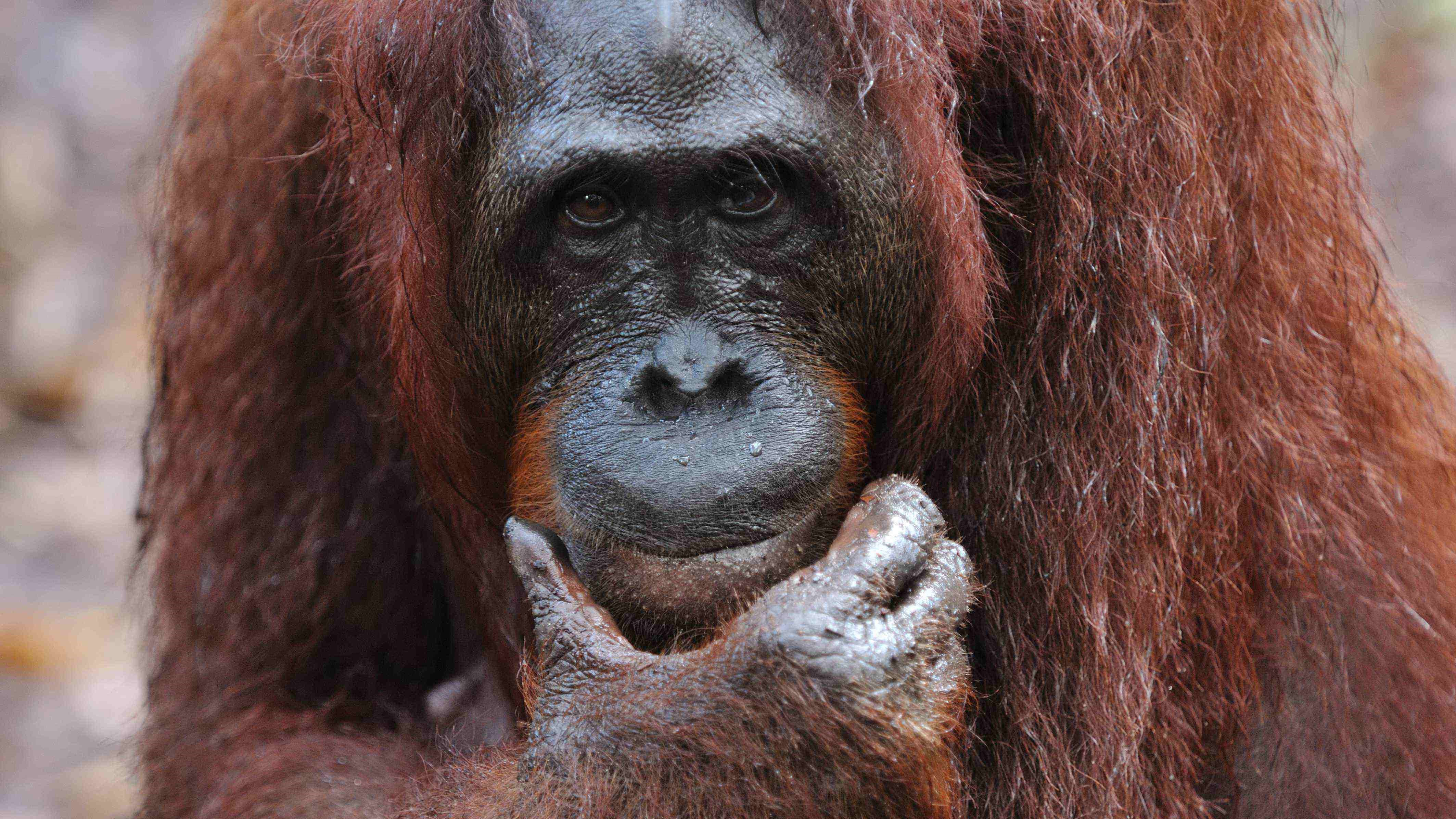 tanjung puting, wildlife, orangutan, tour, trip, safari, jungle, forest, rain forest, wetland, pondok tanggui, camp leakey, klotok boat, guide, rimba lodge, kalimantan, borneo, indonesia